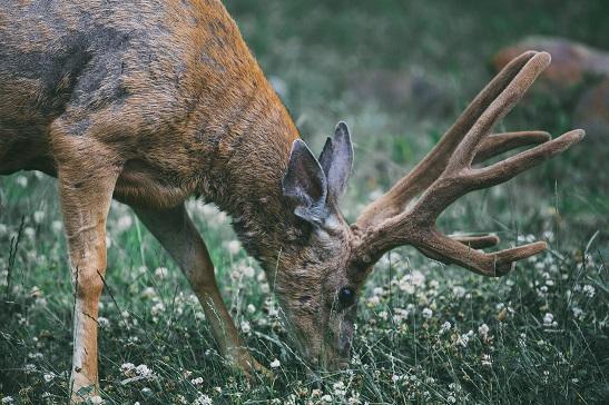 renifer jedzący trawę
