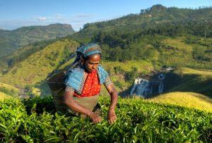 herbata sri lanka